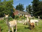Farmhouse-alpacas-fantastic views- miles of beach