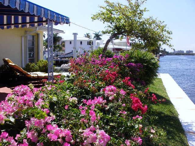Bouganvilla explode on our wonderful patio - Intacoastal Villa Near Beach Attractions - Fort Lauderdale - rentals
