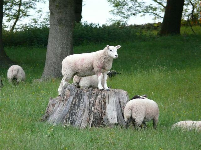 Durham Farm Sheep - Stowhouse Farm Cottages Durham - Bluebell Cottage - Durham - rentals