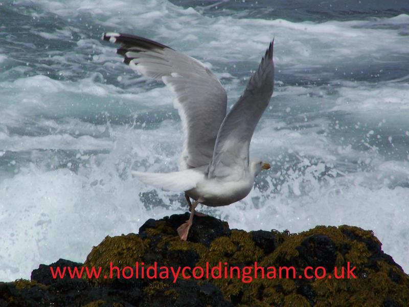 Holiday Coldingham - Hawthorn Cottage - Coldingham - rentals