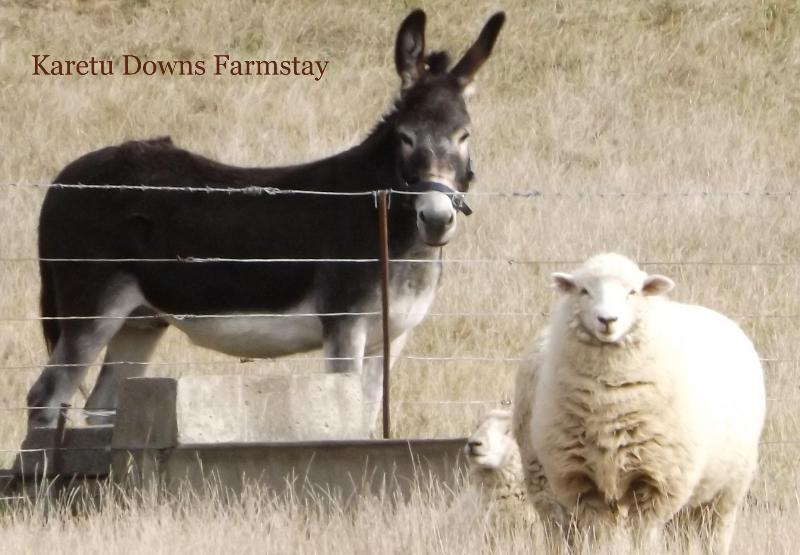 "Barney and the sheep - Farmstay ""Karetu Downs"" Stunning Waipara Gorge - Hawarden - rentals"