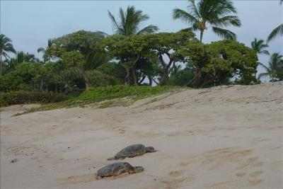 View Sea Turtles Sleeping in the Sand - Kona Makai Luxury Condo - Kailua-Kona - rentals