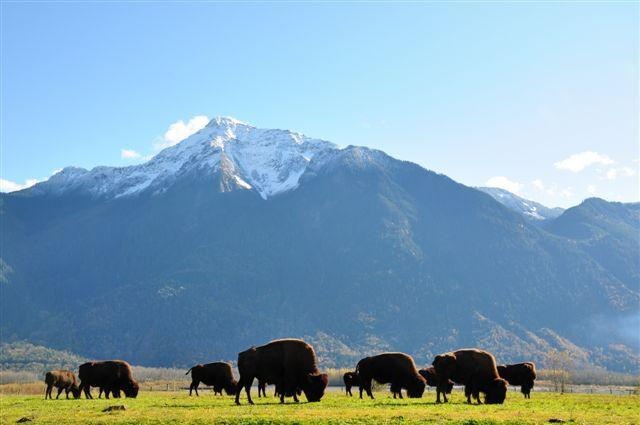 Wild bison herd roaming along the river - Harrison Hot Springs Waterfront Cabin - Victoria - rentals