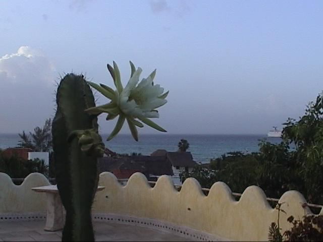 Catus flowers bloom a few times a year - Amazing Penthouse on 5th Ave  - Ocean View - Playa del Carmen - rentals