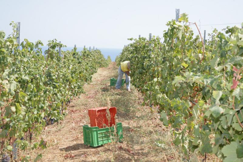 Picking grapes - MAREMONTE  B&B - Arcevia - rentals