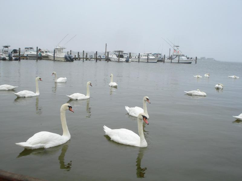swans come back every year - Fair Harbor, Fire Island,NY  4 br house near the bay - Fair Harbor - rentals