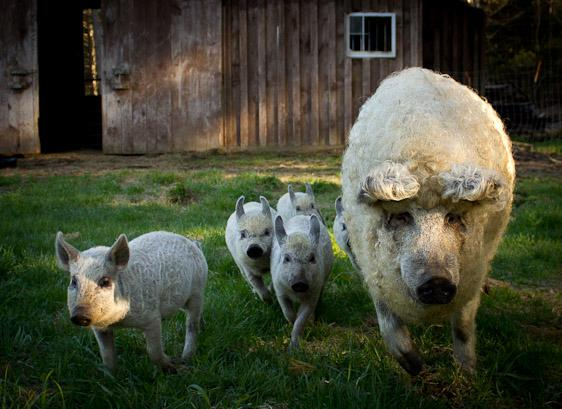 Mangalitsa pigs are raised here for sale to restaurants and private buyers. - Kate Mountain Lodge & Farm - Vermontville - rentals