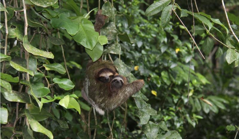 Slothes in the property 08/2014 - LOS CONGOS  JUNGLE PARADISE - Puerto Viejo de Talamanca - rentals