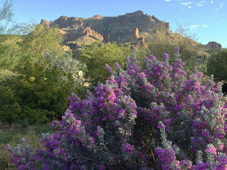 Springtime in Apache Junction with Sage blooming. - Visitors - Welcome to Apache Junction, AZ ! - Apache Junction - rentals