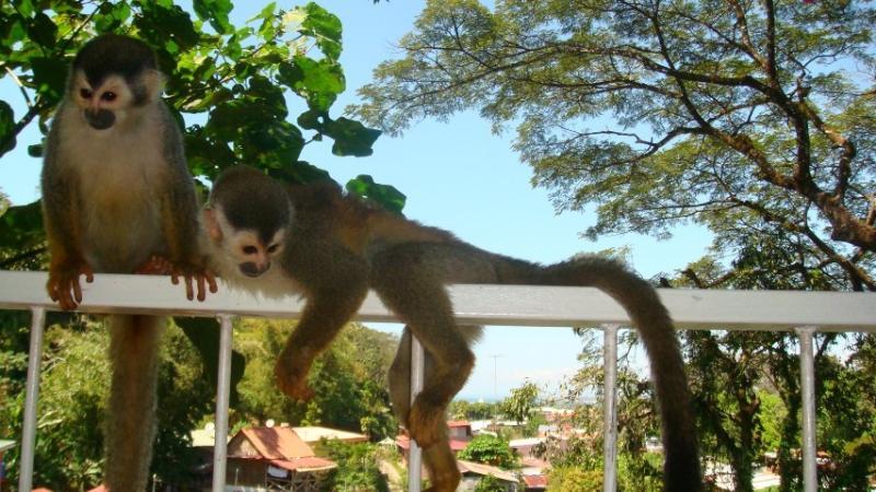 Titi monkeys in your balcony. - A natural landscape at Brunxu Apartments - Quepos - rentals