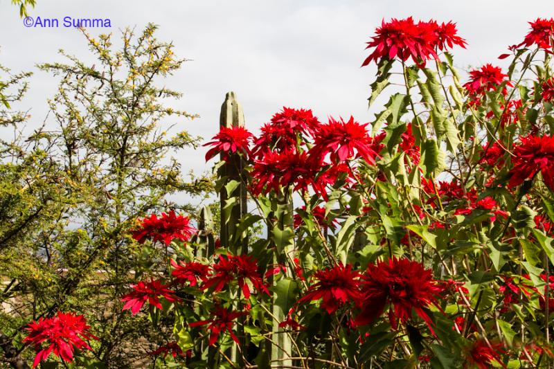 Winter at Casa Chepito has a garden in bloom, including 8' tall pointsettias. - Casa Chepito: in Centro with sweeping views - San Miguel de Allende - rentals