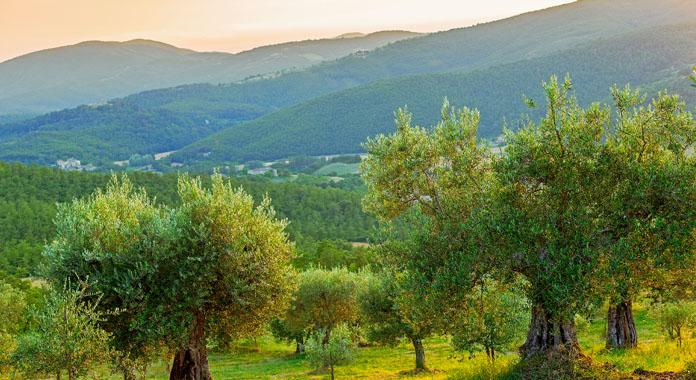 olive trees in the proprty - la sommita' - olivi - Spedalicchio - rentals