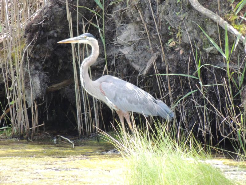 Blue heron grace the wetlands at the Season\'s development! - Brand New Townhome with beautiful views! - Rehoboth Beach - rentals