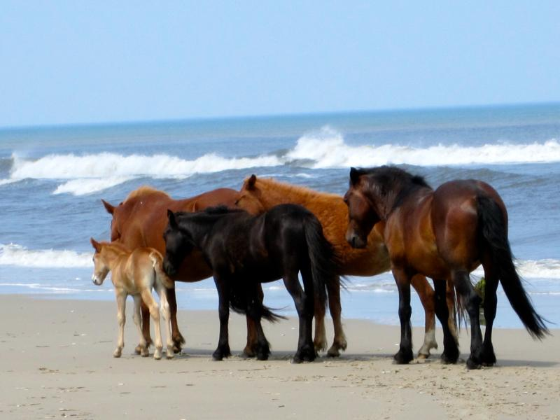 Across from Wild Horse Tours. Take the kids for a Wild Horse Tour. They will never forget it! - OCEANSIDE, EXCELLENT LIGHTHOUSE VIEW, NO BOOK FEE! - Corolla - rentals
