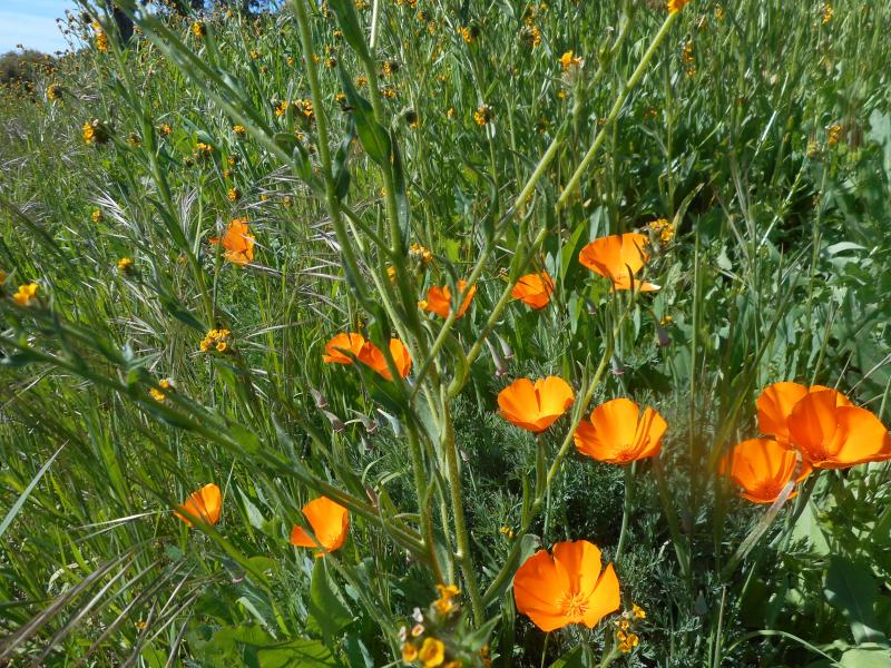 Poppies in full bloom                                        - Spring in the hills is glorious!  Get away from the city and see the wildflowers - Twain Harte - rentals