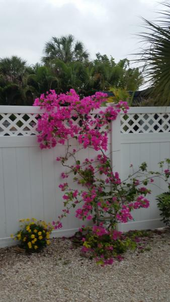 Siesta de Mayo Cottage our prized bougainvillea - Siesta de Mayo Village ....UNIT 2 remodeled May Special $900. Wkly - Siesta Key - rentals