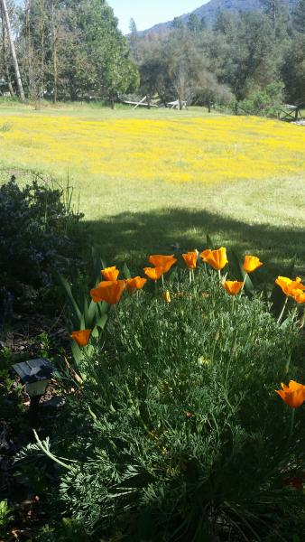Poppies and flowers - Lauri Lane Mountain House Your Home Away From Home - Oakhurst - rentals