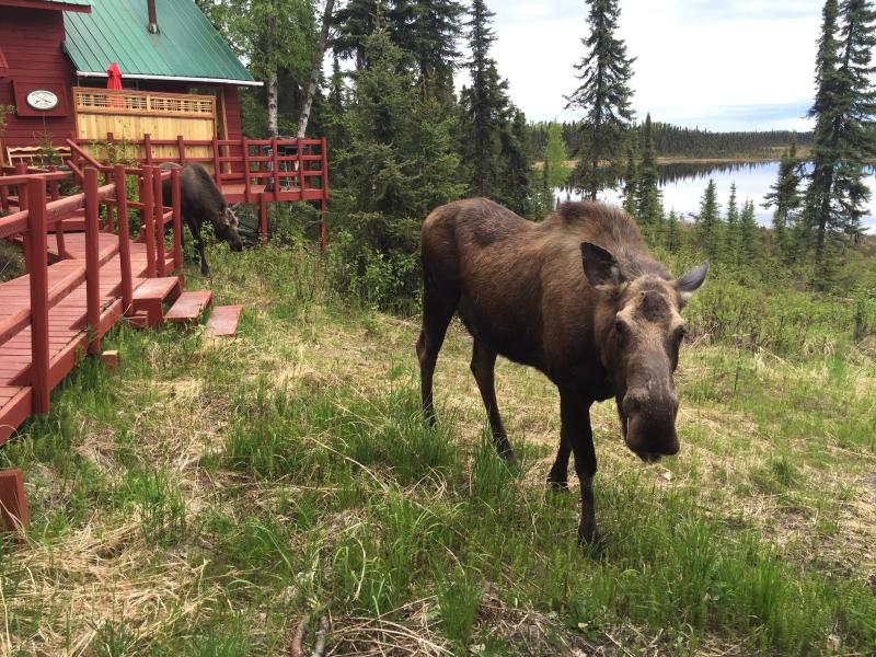 One of our visitors. Photographed by the cabin and cottage on May 18, 2016. - Cottage on Private Lake in S o l d o t n a, Alaska - Soldotna - rentals