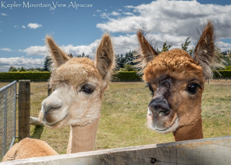The Girls - Alpaca Farmstay -  Kepler Mountain View Cottage, Manapouri, Fiordland - Manapouri - rentals