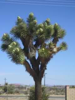 ! of many Joshua trees on property - Hi Desert clear nights - Yucca Valley - rentals