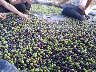 Agrotourism, Olive Harvest at Evia Farm Villa - Nea Styra vacation rentals